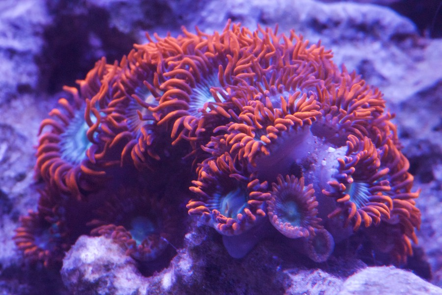 "Zoanthid ""Fire and Ice"" (Zoanthus sp.)"